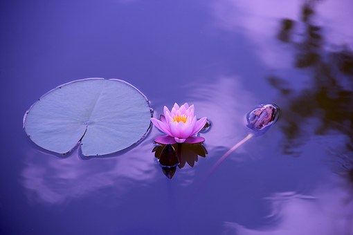 lotus-1205631__340